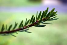 Closeup Pine Tree Branch Detai...