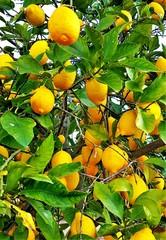 Fototapeta Owoce branches with lemon fruits