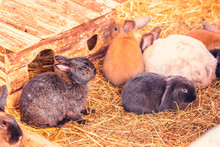 Group Of Small Rabbits In Straw. Farm Animal Concept And Zoo