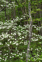 Dogwoods Season In The Great S...