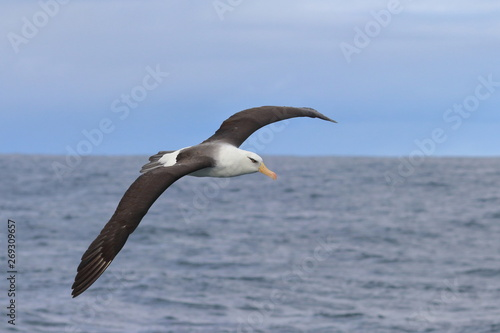 black browed albatross Canvas-taulu