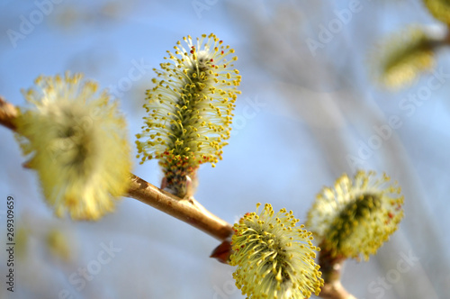 Fotomural branch of willow