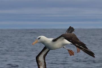 Fototapeta na wymiar black browed albatross