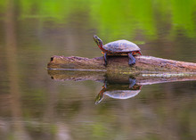 Painted Turtle Reflection In Still Water