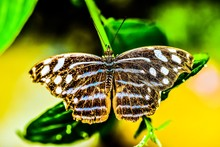 Butterfly On Leaf, Arenal Volc...