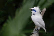 The Bali Myna (Leucopsar Rothschildi) Also Known As Rothschild's Mynah Bali Starling