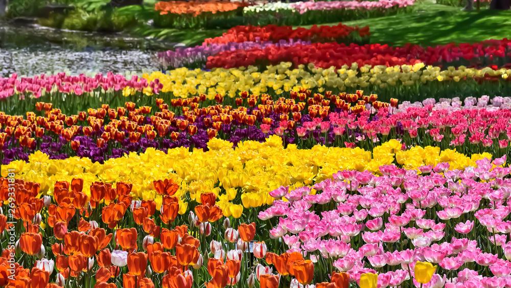 Fototapety, obrazy: 美しいチューリップの花