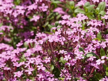 Little Flowers Of Saponaria Ocymoides - Rock Soapwort Or Tumbling Ted
