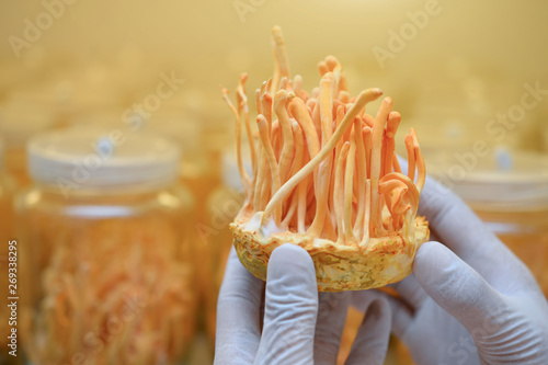 Valokuva  Ophiocordyceps sinensis, Cordyceps militaris in Glass bottles within light and temperature control room