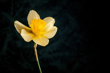 Yellow Flower Of Narcissus On ...