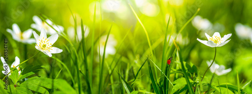 Photo  Dreamy white spring anemone flower bloom, grass, ladybug close-up against sunlight panorama