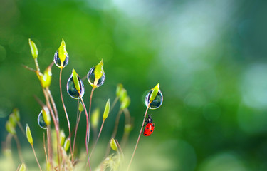 Beautiful large clean  droplets of morning dew and ladybug in summer spring in green grass on nature outdoors macro. Drops of water on grass, natural wallpaper, copy space.