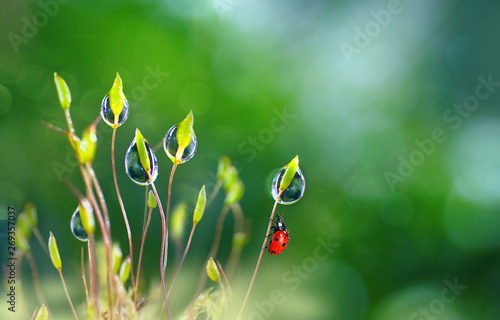 Fotografía  Beautiful large clean  droplets of morning dew and ladybug in summer spring in green grass on nature outdoors macro