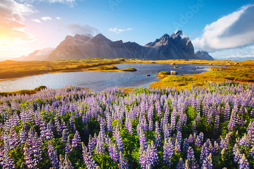 Staande foto Noord Europa Beautiful view of lupine flowers on sunny day. Location Stokksnes cape, Vestrahorn, Iceland, Europe.