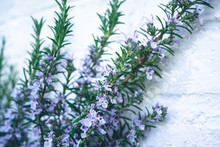Rosemary Twig With Blossom Against White Background