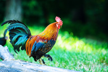 Colorful Rooster On Green Natu...
