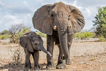 Mother And Child. Female Elephant With Her Calf Walking In Kruger National Park In South Africa