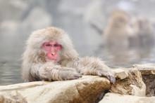 Smiley Monkey In Onsen, Natura...