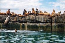 Northern Sea Lion Steller On A...