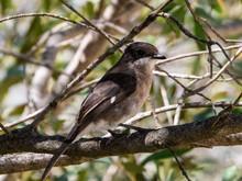 Fiscal Flycatcher (Melaenornis Silens) Bird