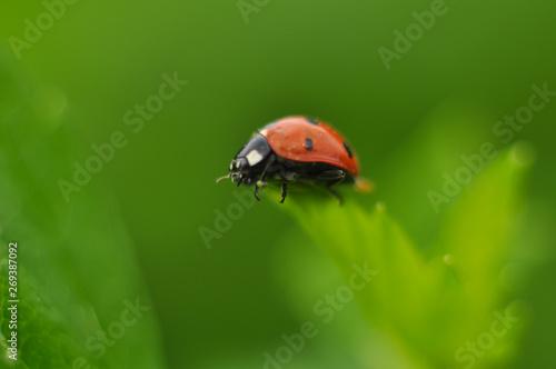 Canvas Prints Ladybugs ladybug