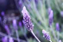Detail Of Lavender Flowers Blooming In Spring