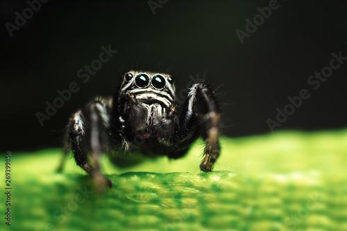 Jumping Spider (Evarcha arcuata) Canvas Print