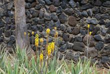 Aloe Vera Yellow Flowers Blooming