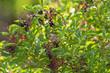 canvas print picture - junge weibliche Mönchsgrasmücke beim Beerensammeln im Hollunderstrauch
