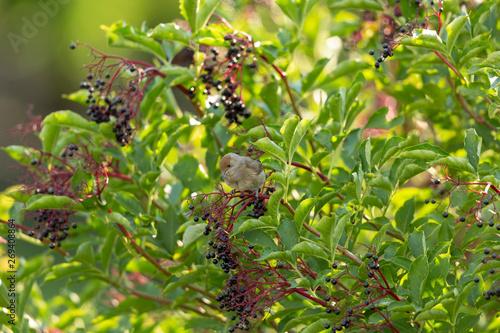 Fotografía  junge weibliche Mönchsgrasmücke beim Beerensammeln im Hollunderstrauch