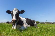 Friesian Holstein Dairy Cow Ly...