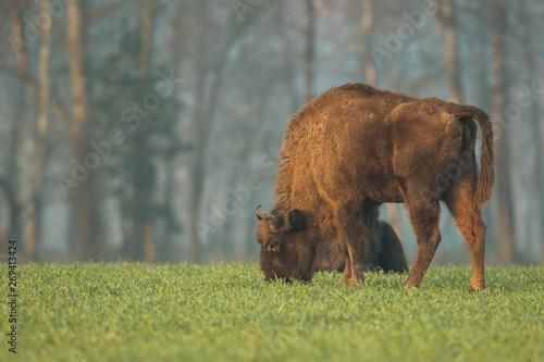 Obraz na plátne European bison - Bison bonasus in the Knyszyn Forest (Poland)