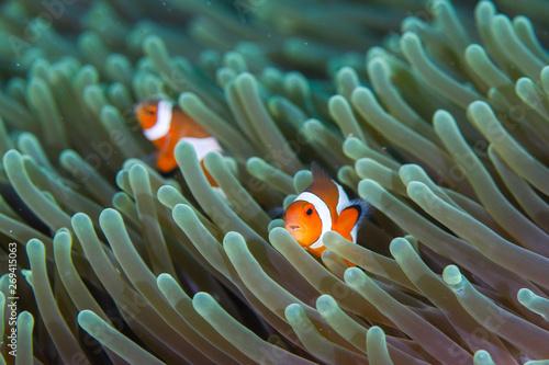 Slika na platnu Clown Anemonefish, Amphiprion percula, swimming among the tentacles of its anemone home
