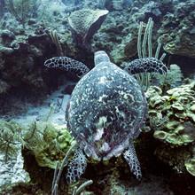 Hawksbill Sea Turtle (Eretmoch...