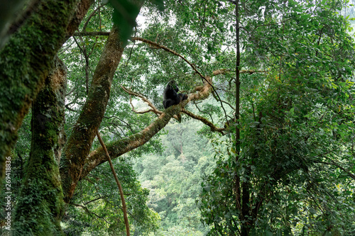 Silverback mountain gorilla in a rainforest (Bwindi Impenetrable National Park, Canvas Print