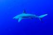 canvas print picture - Grey Reef Shark (Carcharhinus amblyrhynchos) underwater, Tarpon Cayes, Belize Barrier Reef, Lighthouse Reef, Belize
