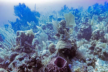 Coral reef underwater, Dive Site, East Wall, Belize