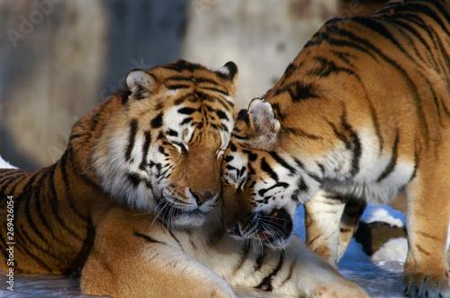 Keuken foto achterwand Tijger tigers in love