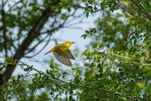 Gold Finch In Flight