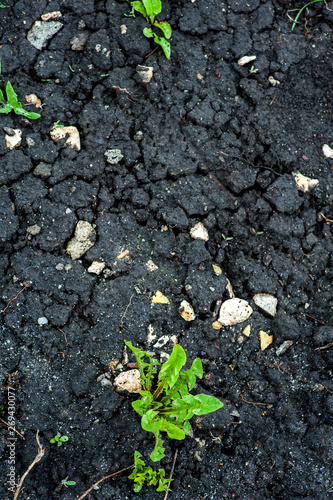 Fotomural Green weeds in black dug earth