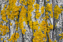 Yellow Lichen On Tree Trunk Bark Background. Close-up Moss Texture On Tree Surface. Selective Focus. Copy Space.