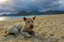 Sad Stray Dog Sleeping On Beach