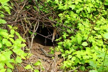 Fox Hole In A Forest Close Up