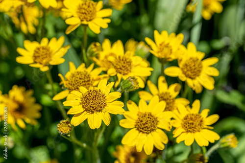 Close view of yellow Arnica(Arnica Montana) herb blossom Wallpaper Mural