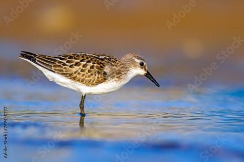 Valokuvatapetti Common water birds. Nature background. Little stint.