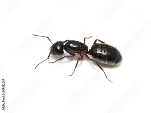 Carpenter ant Camponotus sp. queen isolated on white background Canvas Print