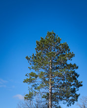 One Norway Pine Tree, Pinus Resinosa, And Cloudless Blue Sky, Copy Space In Vertical Image.