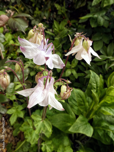 Photo White aquilegia flowers
