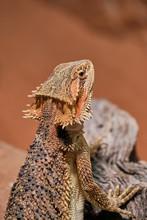 Half Portrait Of A Female Bearded Dragon (Bartagame) In Its Terrarium