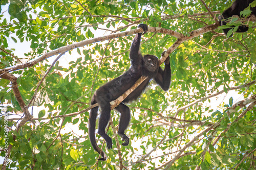 Foto op Aluminium Aap Family of wild Howler Monkeys at the Lacandon Jungle in Chiapas, México